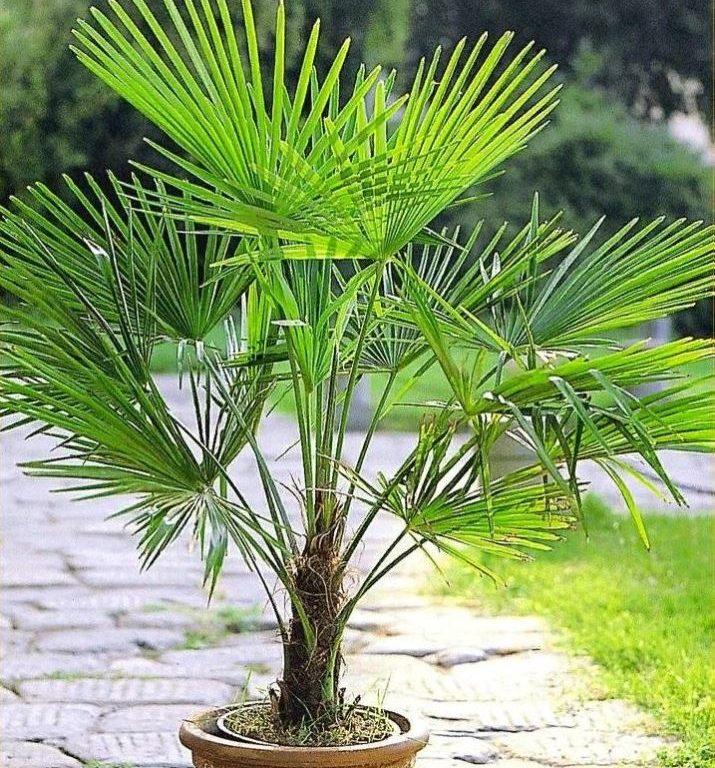 Комнатная пальма: виды, фото и советы по уходу